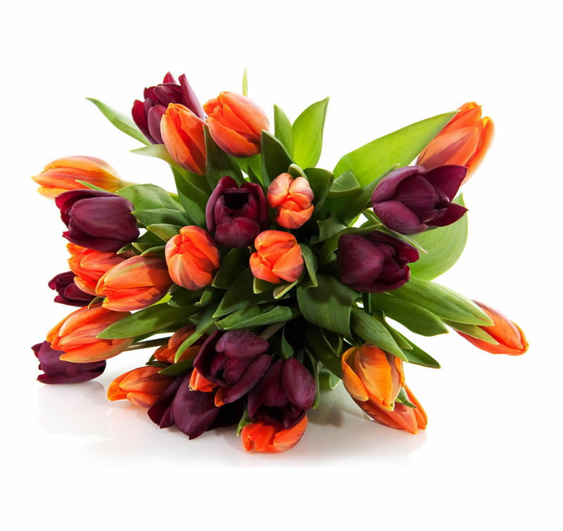 venta de tulipanes en guadalajara